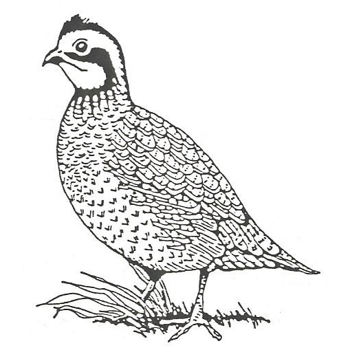 Images Of Quail Drawing Images